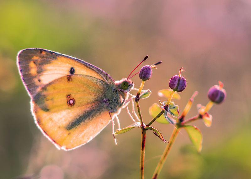 макро, бабочка Три орешка для Золушкиphoto preview