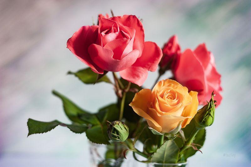 желтая роза, розы Жёлто-розовые вариацииphoto preview