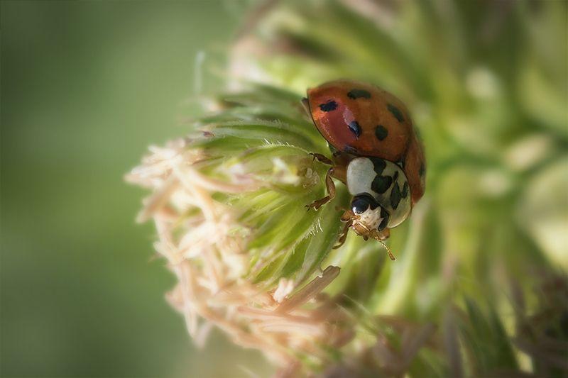 жук, макро, божья коровка, ladybug Леди в красномphoto preview