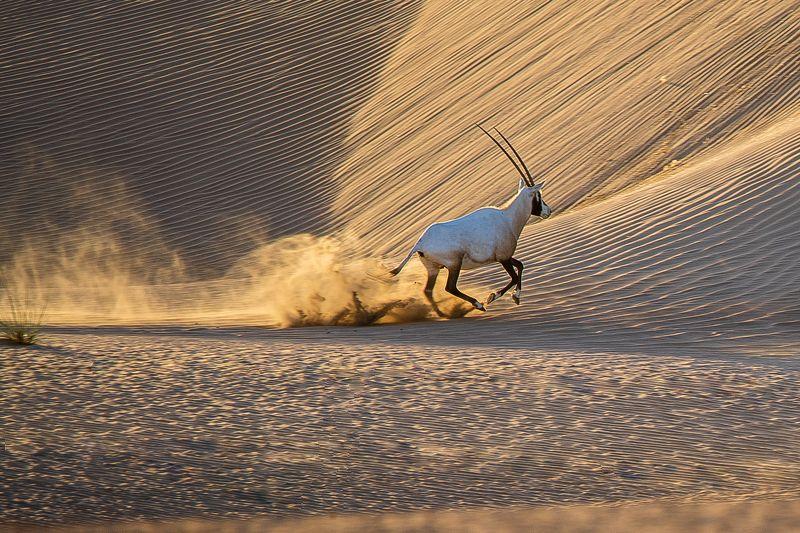 Elegant Arabian Oryxphoto preview