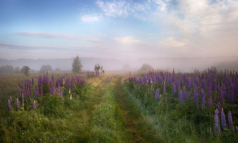 лето, рассвет, туман, небо, поле, люпины Люпиновое лето....photo preview