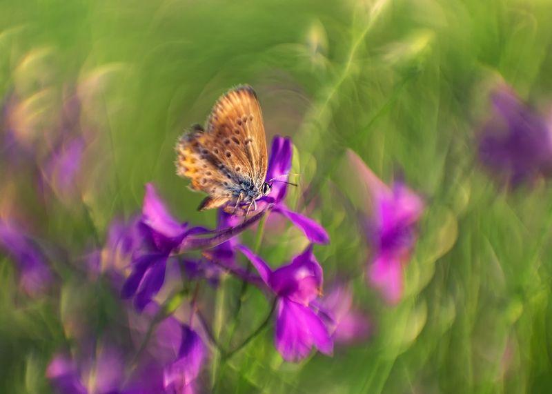 макро, бабочка, голубянка, цветы, сокирки ***photo preview