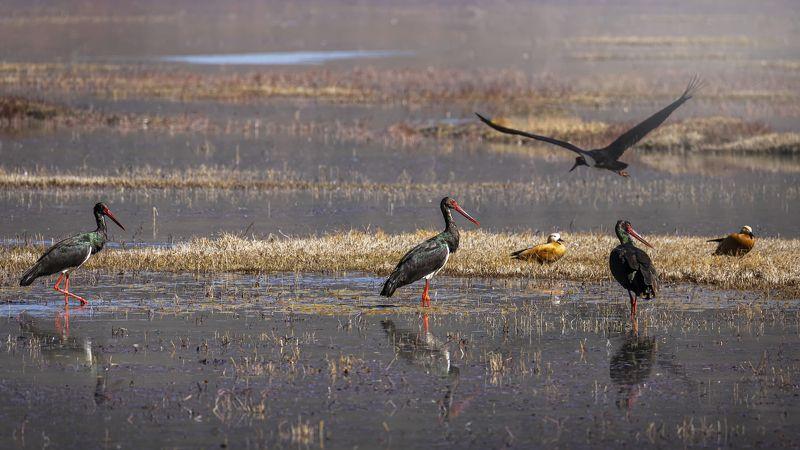 чёрный аист, птицы, birds, black stork Чёрные аистыphoto preview