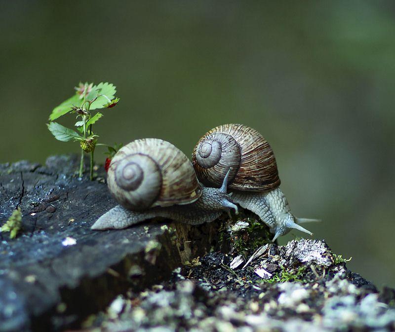 улитки,тихоходы, моллюски,лето,природа, snails, summer,nature Тихоходыphoto preview