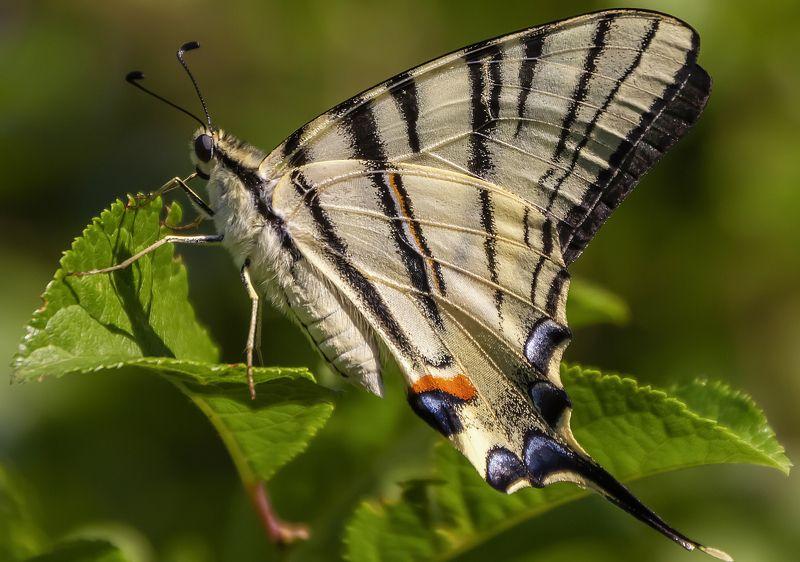 Бабочка подалирийphoto preview