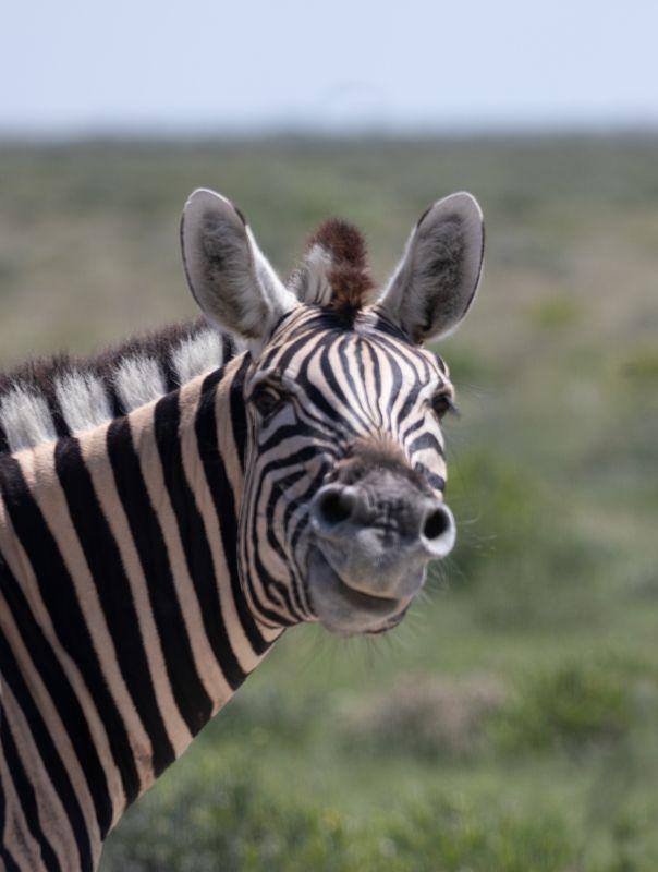 safari, zebra, africa, namibi, animal, animals, wildlife Smiling Zebraphoto preview