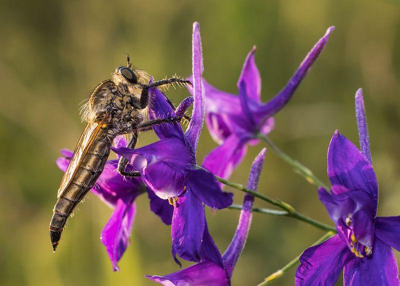 макро, насекомые, ктырь Ктырьphoto preview