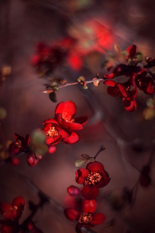 red,flowers,light,bokeh,nature,nikon,zenit,helios,85mm, Redphoto preview