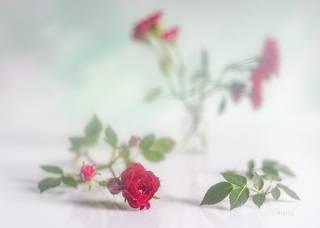 Продолжая рассказ о маленьких розах