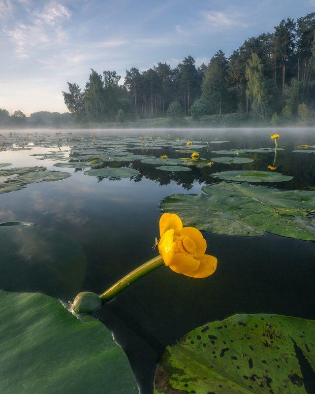 цветы, кубышка желтая, Московская область, природа, кувшинки, пейзаж Кубышка желтаяphoto preview