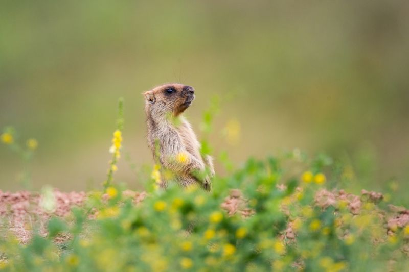 сурки, сурок, байбак, животные, грызун, animals, nature, природа удмуртии Сурки Байбакиphoto preview
