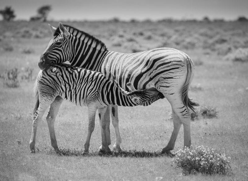safari, zebra, africa, namibi, animal, animals, willife Zebra foal\'s breakfastphoto preview