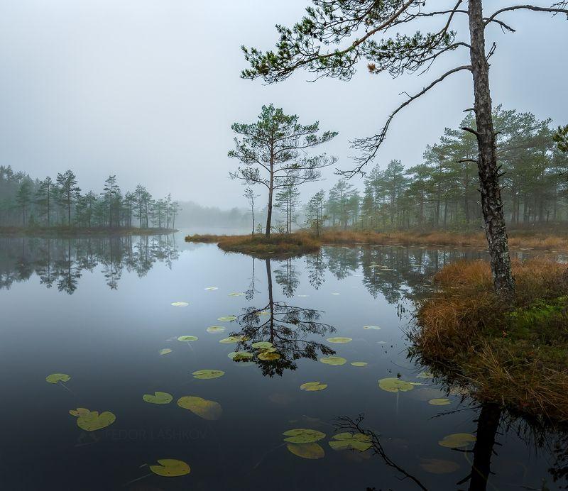 Ленинградская область, рассвет, осень, пасмурно, сосна, озеро, туман, отражение, деревья, берег, листья, кубышка, непогода, серый, стальной,  Пасмурное утроphoto preview