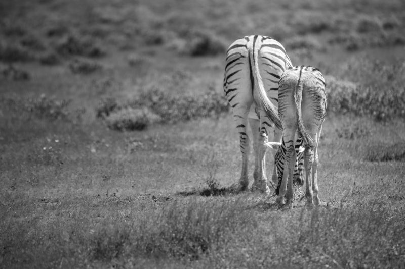 safari, zebra, africa, namibi, animal, animals, wildlife Mother and Foalphoto preview