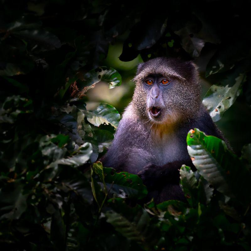 Blue Monkey, Lake Manyara National Park-Tanzaniaphoto preview