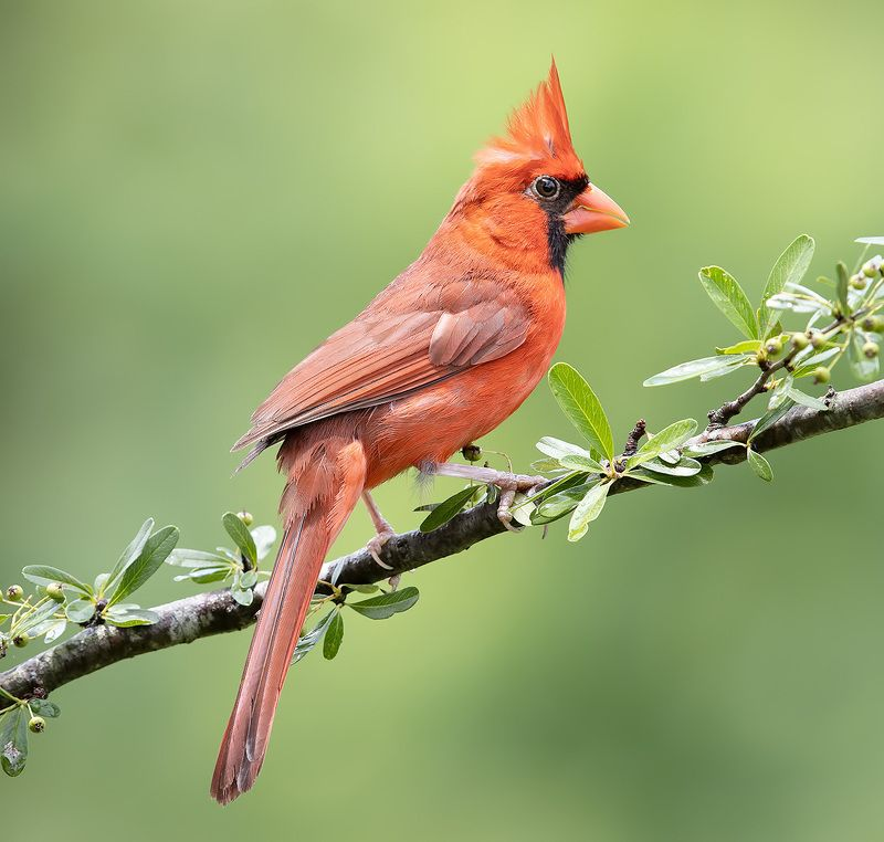 Northern Cardinal male & female - Красный кардинал cамец и самка