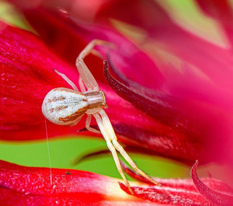 Misumena vatia (goldenrod crab spider or flower (crab) spider)