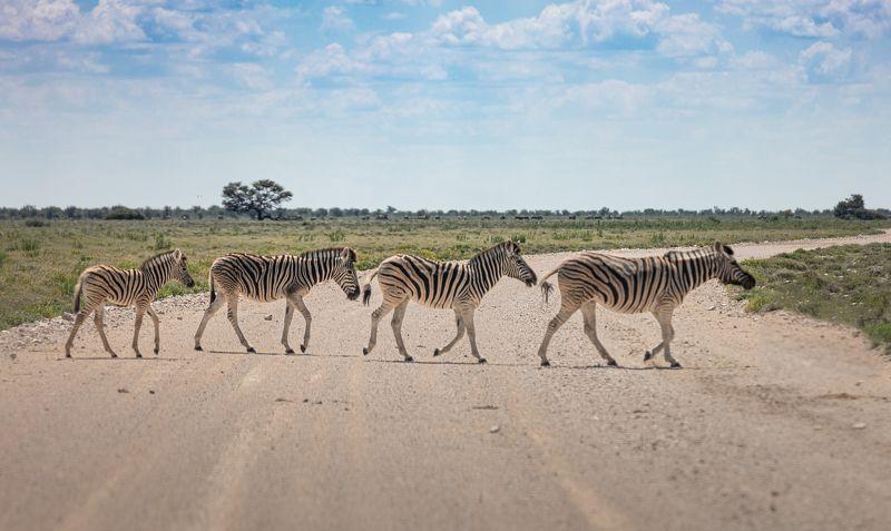 safari, zebra, africa, namibi, animal, animals, wildlife Abbey Road, Zebra editionphoto preview