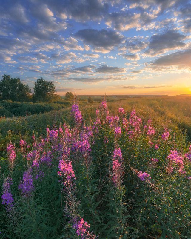 цветы. закат, иван-чай, природа, Московская область, пейзаж. Россия Иван-чайphoto preview