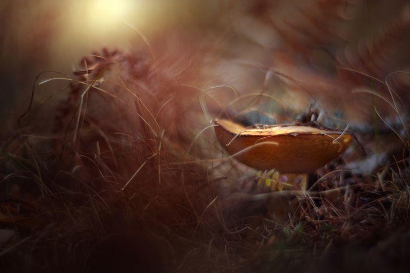 nature,nikon,flower,orange,purple,bokeh,dark,light,bokeh,zenit,helios,brown,mushroom, Brownphoto preview