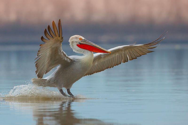 bird, wild, animals ,canon Кудрявый пеликанphoto preview