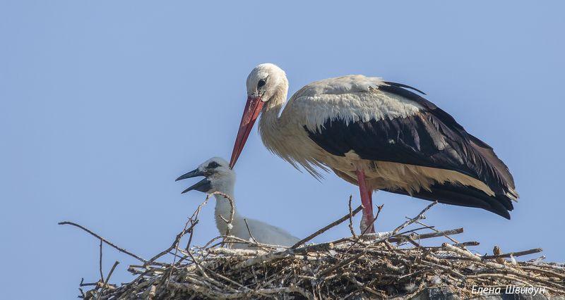 bird of prey, animal, birds, bird,  animal wildlife,  nature,  animals in the wild, ястреб, white stork, stork, аист, белый аист Kissphoto preview
