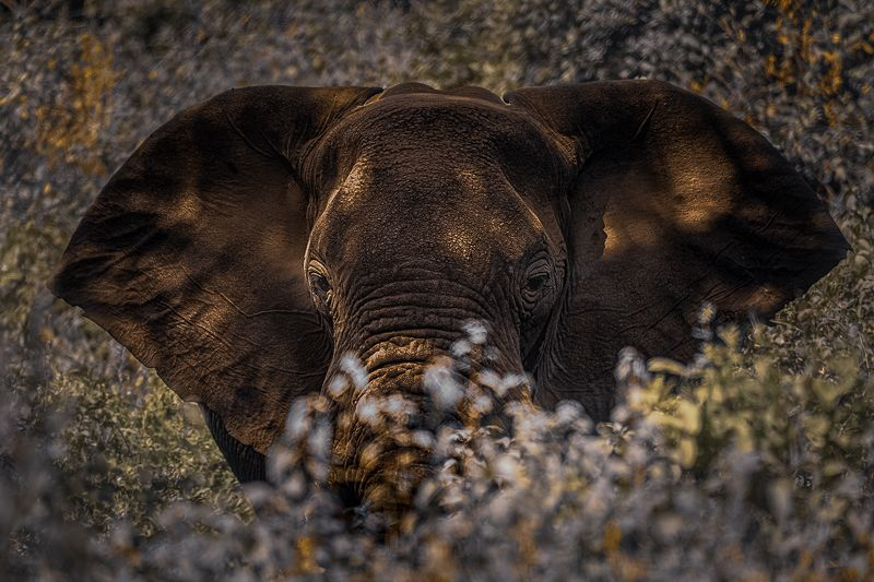 Elephant from African Bushphoto preview