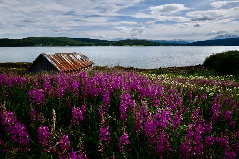 Landscapes, nature, Norway, Blomming Sally, flowers, colors, summer, sea, Atlantic sea, lighthouse, Иван-чай,  Июль - макушка летаphoto preview