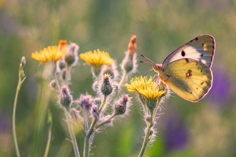 макро, бабочка Настроение \