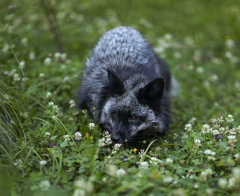 лиса,чернобурая,красотка,красота,природа, fox, black,beautiful, summer, nature Летнее настроениеphoto preview