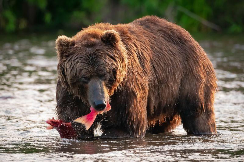 камчатка, медведь, рыбалка, улов Удачный уловphoto preview