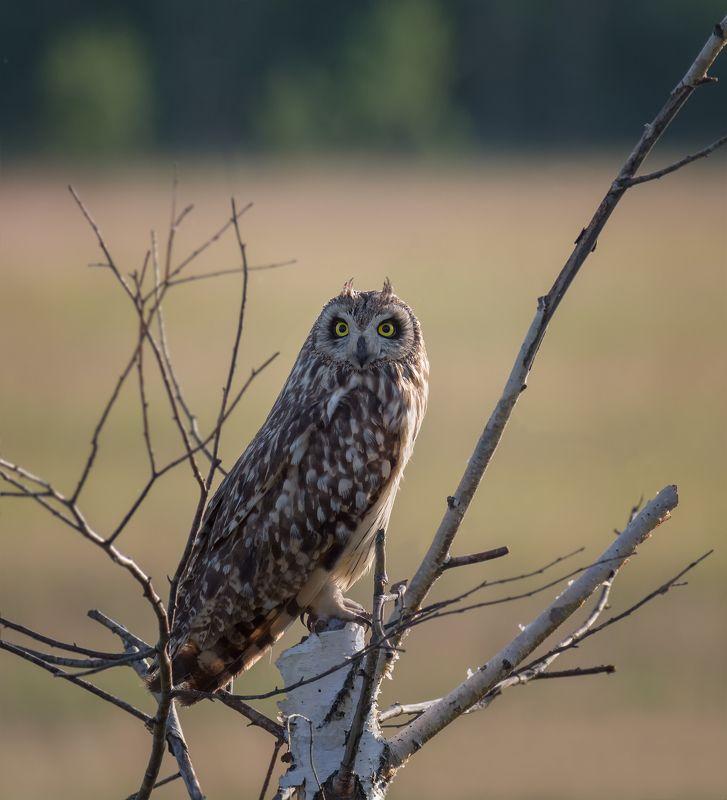 птица, болотная сова, полёт, Болотная сова..photo preview