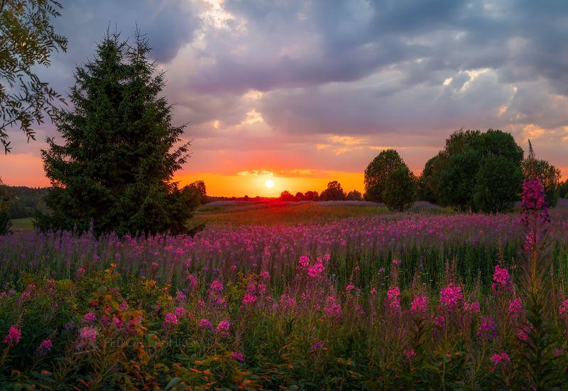 вожегодский район, вологодская область, иван-чай, цветение, луг, луговое, цветы, закат, лето, летние, поляна, тучи, деревья, Вологодский закатphoto preview