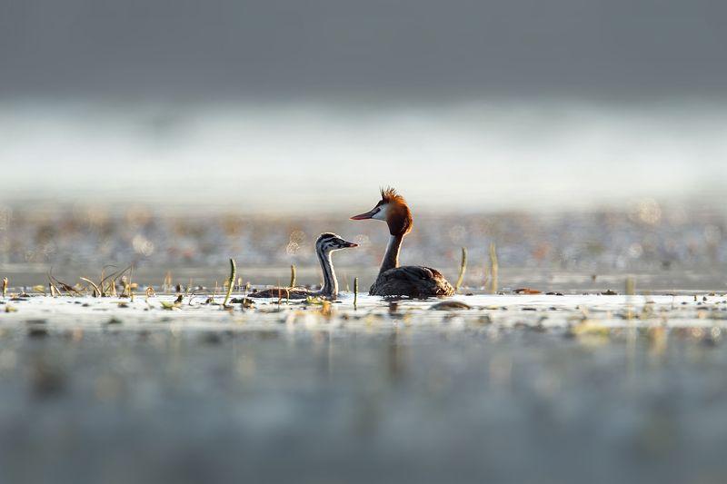 чомга, птицы, birdwatching, birds, поганки Семейный фотограф :-)photo preview