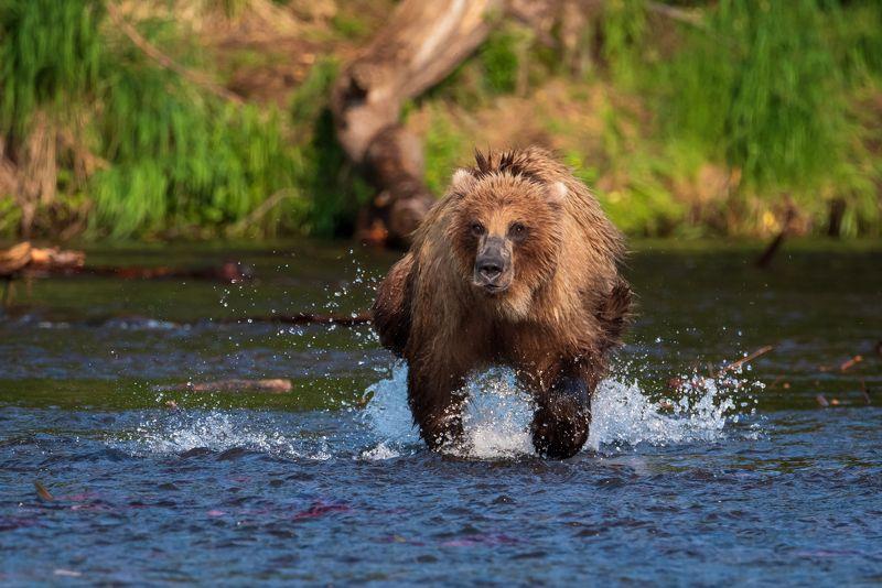 Медведь на охотеphoto preview
