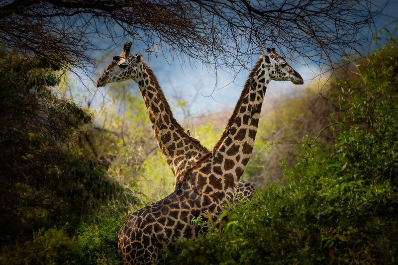Giraffes & Buphagusphoto preview