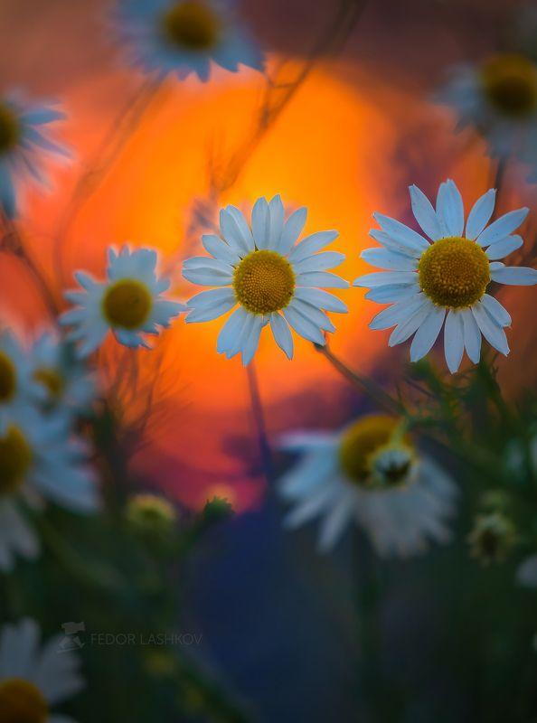 лебедянский район, липецкая область, луг, цветение, ромашки, ромашка, макро, цветы, цветок, цветение, лето, летнее, закат, закатное, белые, красочное, краски, оранжевый, фиолетовый, Летняя живописьphoto preview