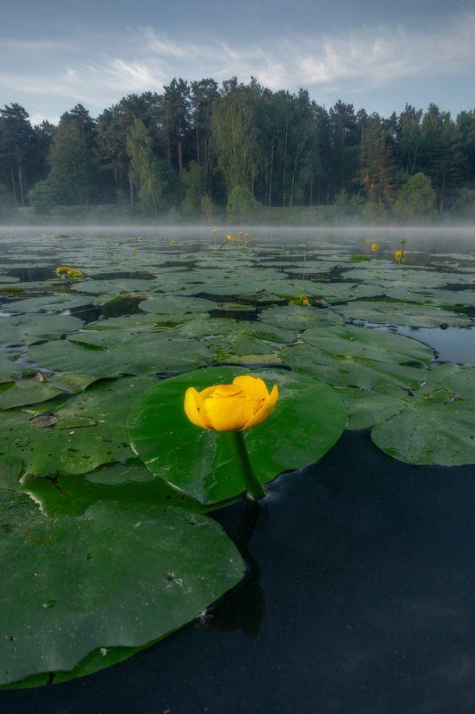 природа, цветы, лето, Россия, утро, кубышка желтая, кувшинки, пейзаж \