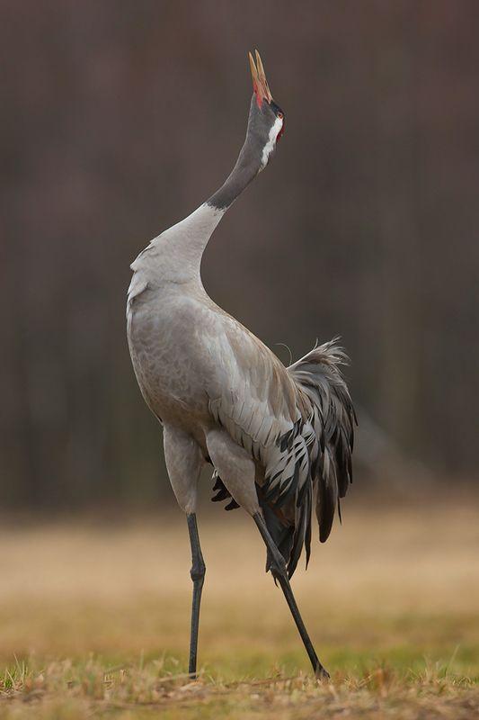 bird, wild,animals ,poland,canon Серый журавльphoto preview