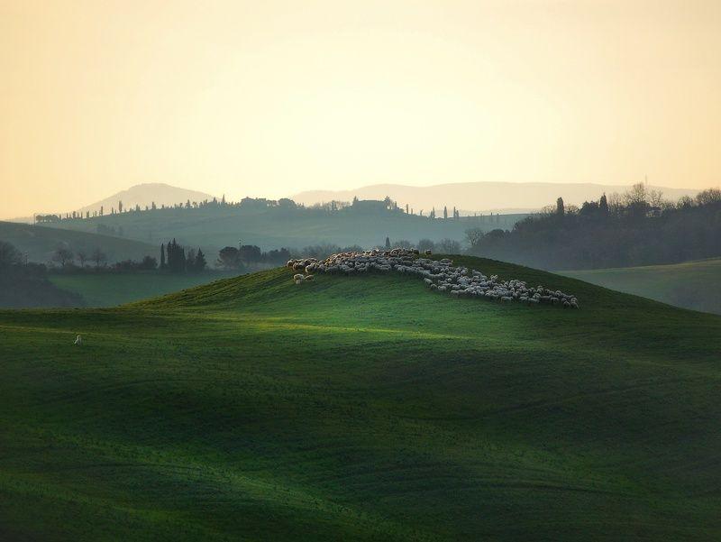 тоскана, весна, зелёное поле, овечка, овцы photo preview