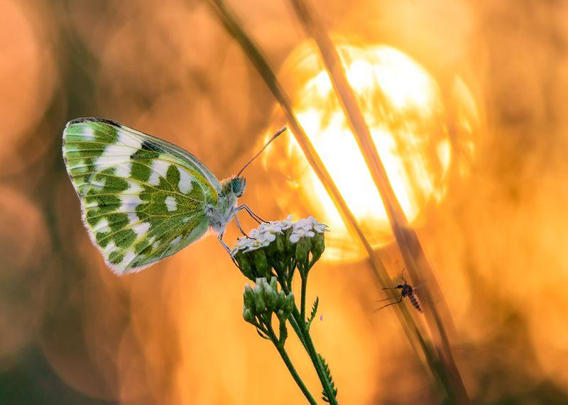 макро, бабочка, белянка Вдруг откуда ни возьмись маленький комарик...photo preview
