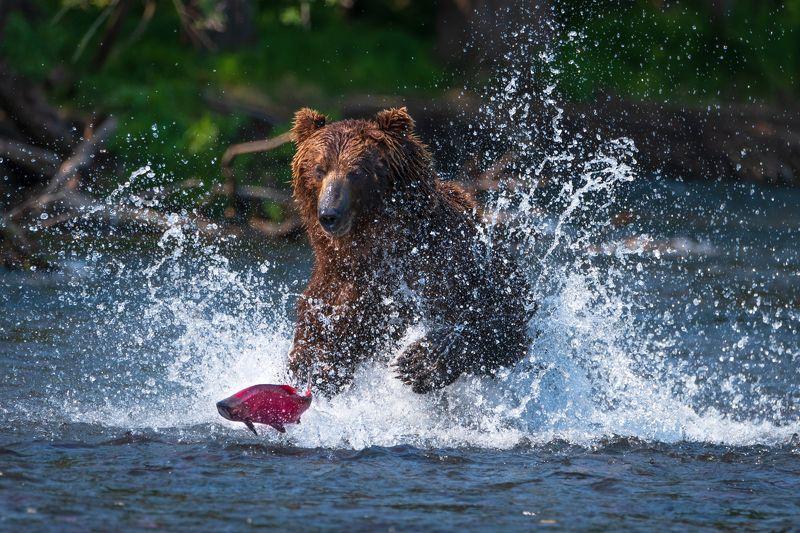 камчатка, медведь, рыбалка, улов От меня не убежишь!photo preview