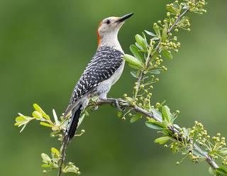 Red-bellied Woodpecker female -Каролинский меланерпес