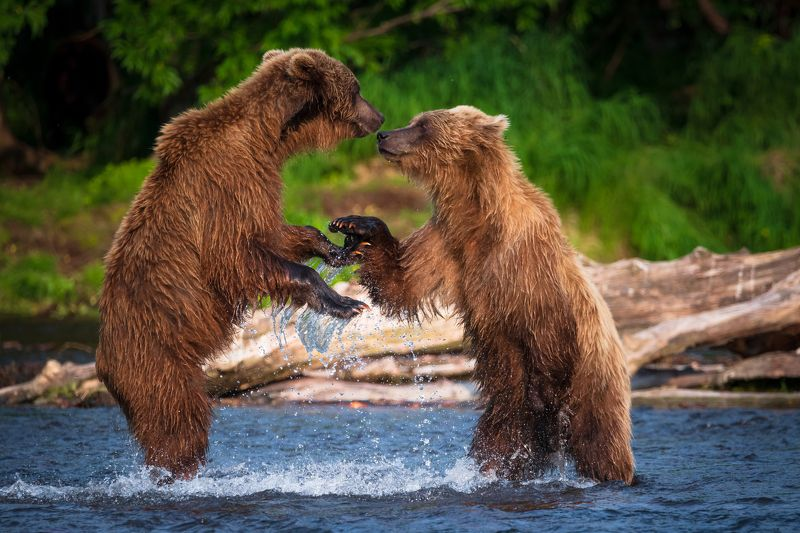 камчатка, медведи, рыбалка, Давай подружимсяphoto preview