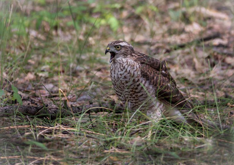 птица, ястреб перепелятник, ястреб перепелятник.. (подросток)photo preview