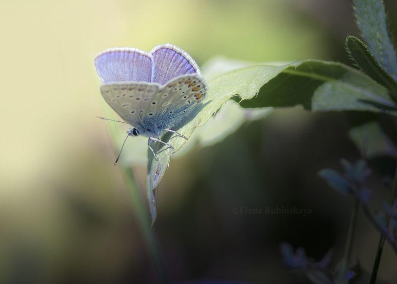 кострома, природа, макро, бабочки, насекомые Июль фото превью