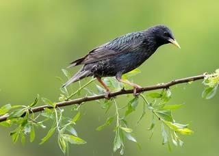 Обыкновенный скворец - European Starling