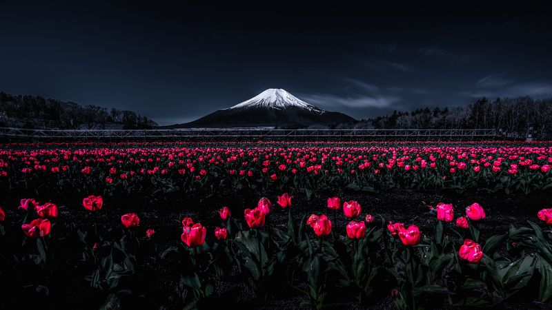 Fuji,Japan,mountain,tulips,red,white,snow,spring Fascinated by the bright redphoto preview