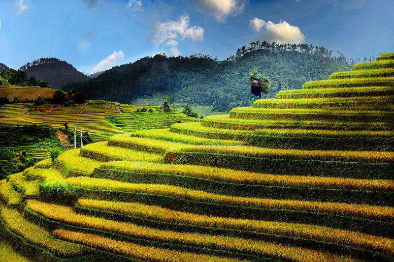 Golden rice seasonphoto preview
