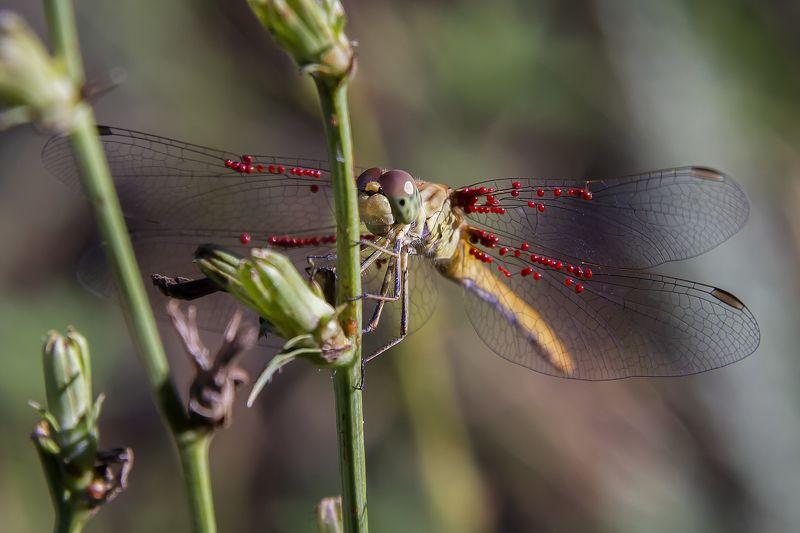 Стрекоза с личинками водяного клещаphoto preview